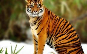 Picture predator, Tiger, big cat