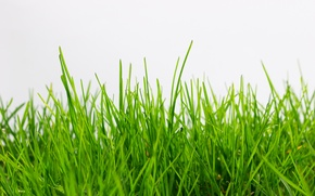 Picture grass, white background, green