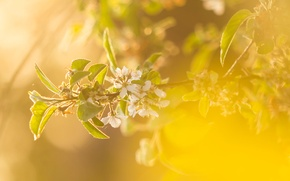 Picture greens, summer, leaves, nature, cherry, background, color, branch, spring, flowering, pollination, cottage, period