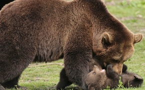 Picture animals, nature, predators, bears, bear, cub, bear