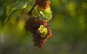 Picture leaves, blur, berry, grapes, bunch