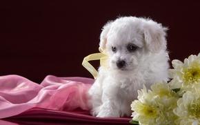 Picture white, flowers, puppy, chrysanthemum, Bichon Frise