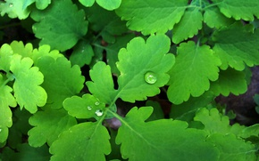 Picture greens, drops, Rosa, celandine