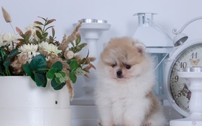 Picture watch, candles, puppy, Spitz