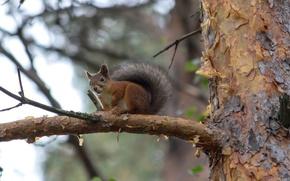 Wallpaper orava, tree, squirrel, tree