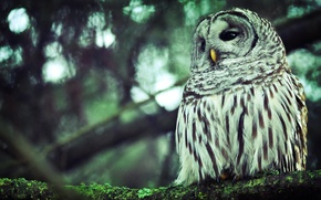 Wallpaper forest, eyes, trees, branches, background, owl, branch, Wallpaper, feathers, beak, wallpapers