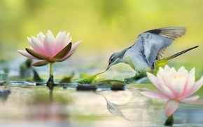 Picture leaves, water, flowers, nature, reflection, bird, Lotus