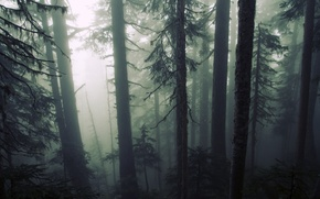 Picture forest, trees, nature, fog, gloomy