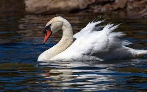 Picture water, bird, ruffle, profile, Swan, pond