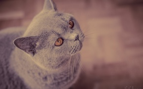 Picture muzzle, waiting, British Shorthair