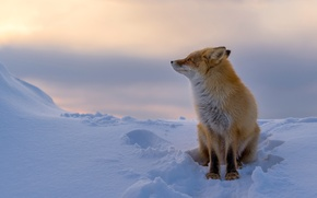 Picture winter, snow, Fox, red