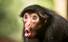 Picture nature, background, Black spider monkey
