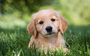 Picture grass, look, dog, puppy, Golden Retriever, Golden Retriever