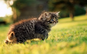 Picture greens, grass, eyes, look, kitty, grey, spring, walk