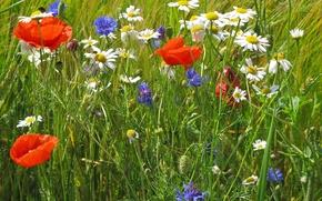 Picture field, grass, flowers, Mac, Daisy, meadow