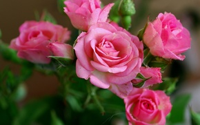 Wallpaper flowers, beauty, beautiful nature wallpapers, roses, Rose, pink, petals, flower, pink