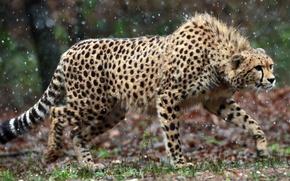 Picture look, predator, Cheetah, observation, cheetah