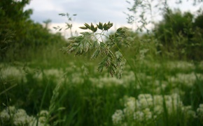 Picture grass, Macro, meadow