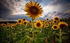 Picture field, summer, sunflowers