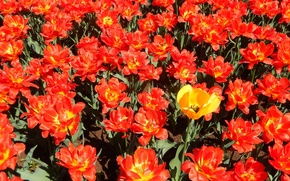 Picture flowers, widescreen, Wallpaper, Tulip, tulips, wallpaper, widescreen, background, the Wallpapers, full screen, HD wallpapers, widescreen, …