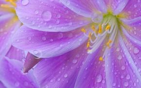 Picture flower, drops, Rosa, petals, stamens