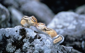 Picture stones, pair, rodents, chipmunks