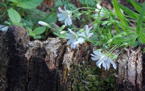 Picture forest, small, white, flowers, stump