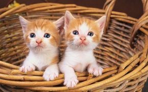 Picture cat, white, cat, basket, red, kittens, two, cat
