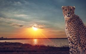 Picture sunset, lake, Cheetah, Savannah, wild cat