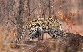 Picture autumn, forest, leaves, branches, stone, predator, leopard, grin, bokeh, spotted