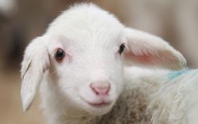 Picture animal, village, sheep