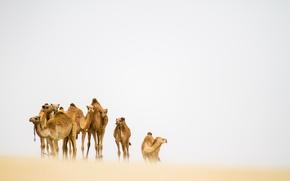 Wallpaper desert, camels, sandstorm