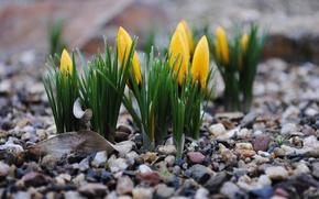 Picture macro, flowers, stones, spring, crocuses, buds