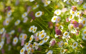 Picture field, stems, petals, view, bokeh, Daisy