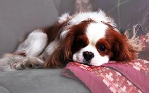 Wallpaper dog, sofa, doggie, spotted, wool, Spaniel, plaid