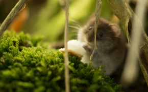 Picture hamster, rodent, wildlife, hamster, fauna