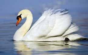 Picture white, bird, Swan, floats