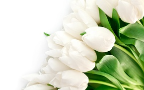 Picture leaves, flowers, bright, beauty, petals, tulips, white, white, flowers, beauty, petals, bright, Tulips