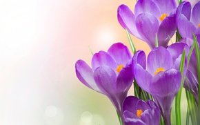 Picture flowers, crocuses, flowers, crocuses