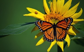 Wallpaper macro, insects, butterfly, ladybug, sunflower, beetle, The monarch