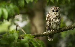 Wallpaper branch, forest, owl