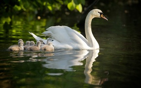 Picture swans, Chicks, motherhood, the Lebeda