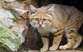 Picture look, sandy the cat, ©Tambako The Jaguar, sand cat, sand cat