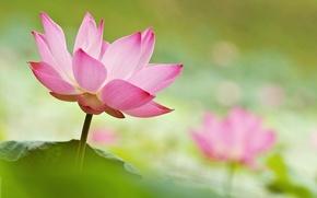 Picture macro, paint, petals, Lotus