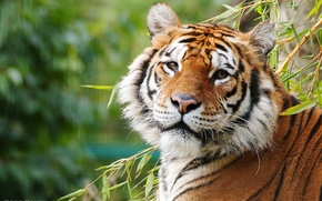 Picture look, tiger, handsome