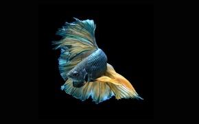 Picture dark, beautiful, striking, colorful fish