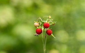 Picture summer, greens, strawberries, forest