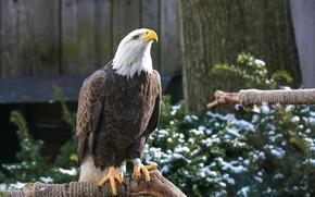 Picture bird, predator, paws, beak, bald eagle
