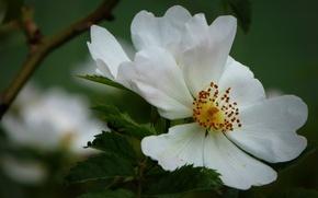 Picture macro, petals, briar, white rose