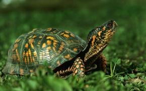 Picture animals, Nature, Turtle